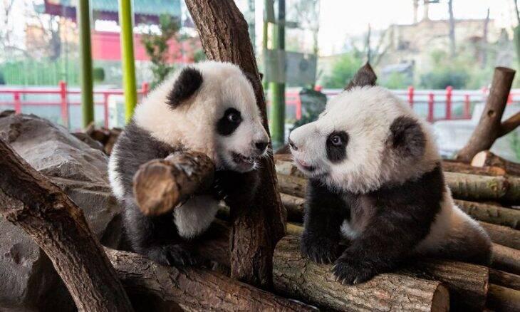 Zoológico de Berlim apresenta filhotes de panda gêmeos pela 1ª vez