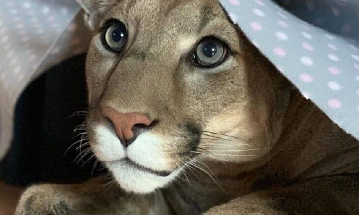 Puma resgatado de zoológico tem vida de gato mimado