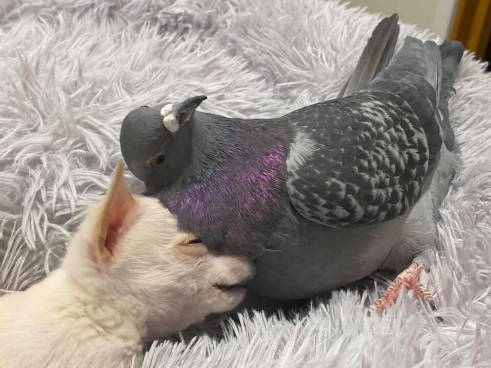 Pombo e chihuahua fazem amizade em abrigo de animais