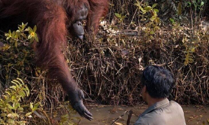 Orangotango oferece ajuda para homem a sair de rio infestado por cobras