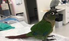 Veterinária cria novas asas para papagaio que não podia voar