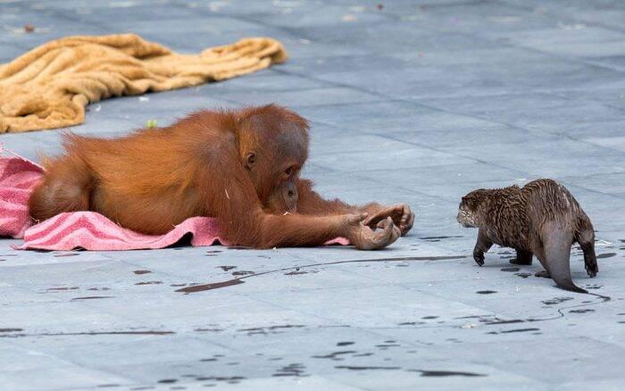 Orangotango faz amizade com lontras em zoológico da Bélgica