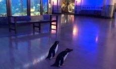 Coronavírus: Aquário nos EUA solta pinguins para entreter público pela internet
