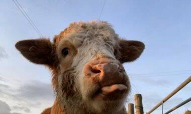 """Perfil no Twitter posta diariamente fotos de vacas """"fofas"""""""