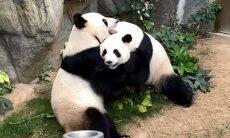 Com zoológico fechado, pandas acasalam pela 1ª vez em 10 anos