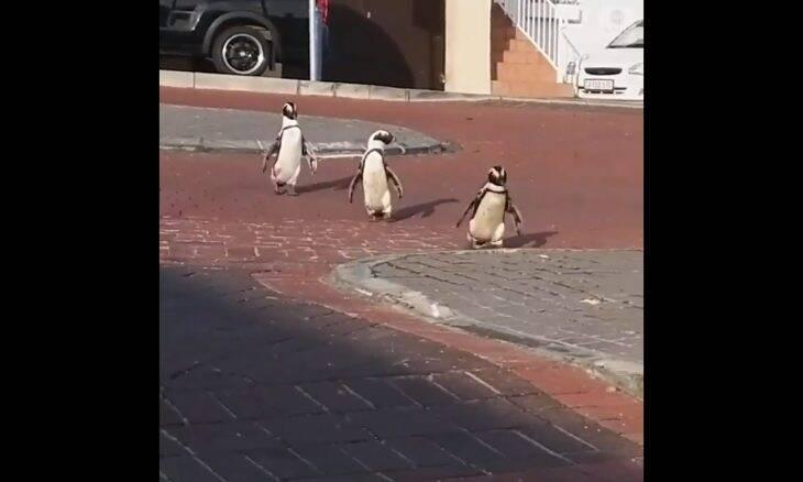 Pinguins são flagrados passeando por cidade da África do Sul