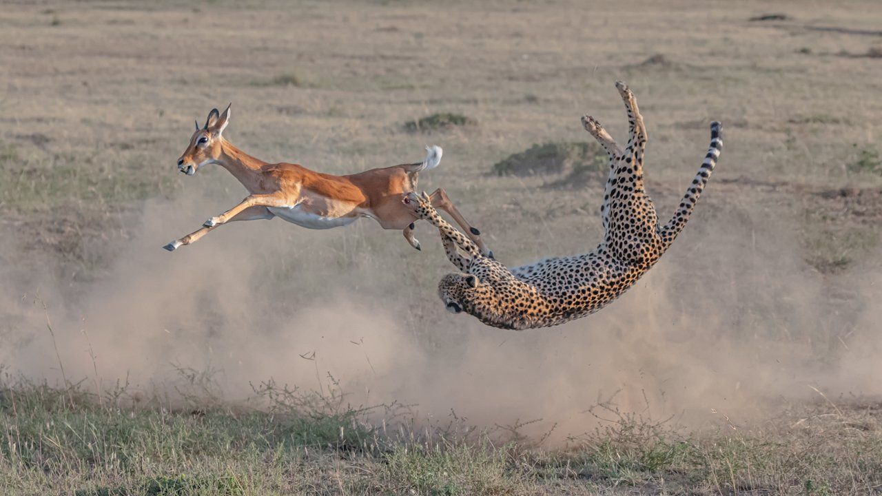 Cheetah Hunting in Maasai Mara (Yi Liu)