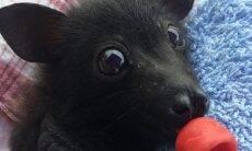 Fotos mostram que morcegos também podem ser fofos