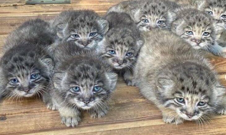 Zoológico russo celebra nascimento de filhotes de felino raro