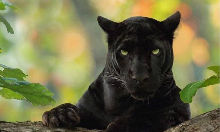 Fotógrafo faz registros impressionantes de panteras negras na Índia