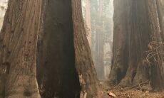 Árvores de 2 mil anos resistem a incêndio florestal nos EUA