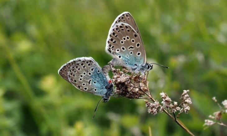 Borboletas consideradas extintas reaparecem na Inglaterra