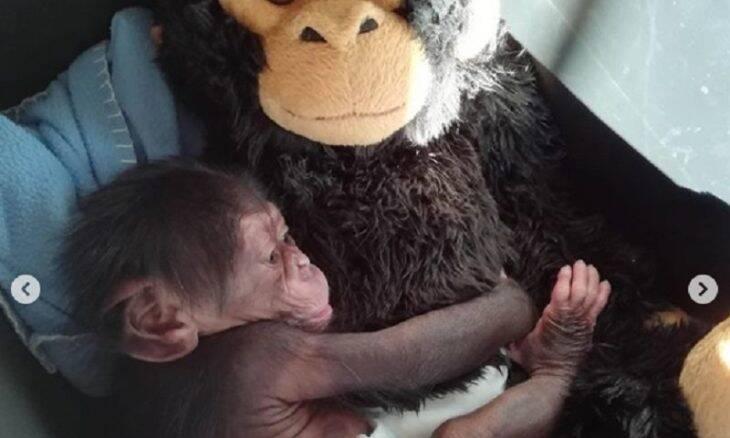 Chimpanzé adotado por pelucia ganha nova família