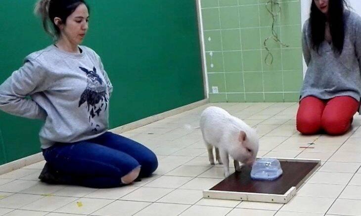 Porcos podem se apegar a humanos como os cães