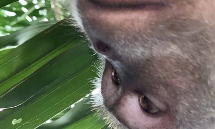 Macaco rouba celular e é identificado pelas selfies