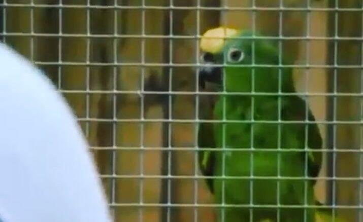 Conheça o papagaio cantor que acha que é Beyoncé