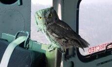 Coruja pega carona em helicóptero em voo