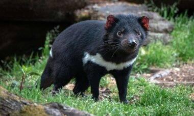 Demônio-da-Tasmânia retorna para a Austrália depois de 3 mil anos
