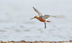 Pássaro voa sem escalas do Alasca para a Nova Zelândia e bate recorde