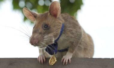 Rata detectora de minas ganha medalha no Reino Unido