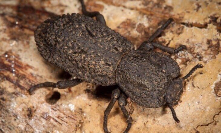 Descubra o segredo do besouro que suporta até 39 mil vezes o seu peso