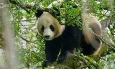 Pandas são flagrados acasalando em habitat natural pela primeira vez