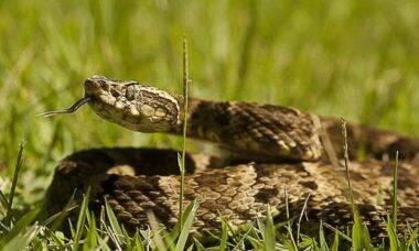 Veneno de serpente pode virar remédio contra o câncer