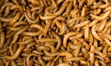 Europa libera venda de larva de besouro como alimento