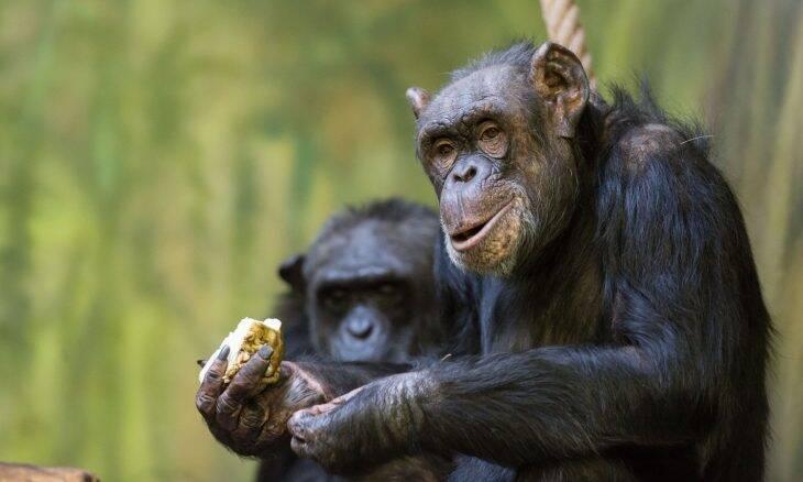 Zoológico organiza reuniões no Zoom para entreter chimpanzés durante a pandemia