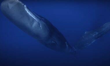 Baleia cachalote amamentando filhote é registrado pela primeira vez em vídeo