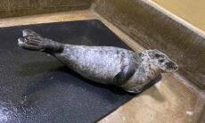 Foca é salva por veterinários depois de ferimento provocado por um saco plástico