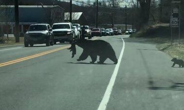 Vídeo: Ursa para o trânsito para tirar filhotes da estrada