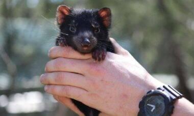 Diabos-da-tasmânia voltam a nascer na Austrália após 3.000 anos