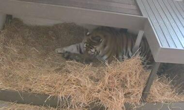 Zoológico registra parto de filhotes de tigre-siberiano