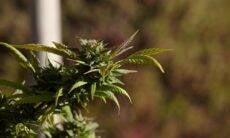 Comissão da Câmara aprova plantio da cannabis para fins medicinais