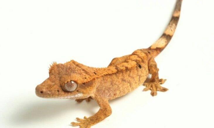 Cientistas descobrem lagartixa capaz de suportar 5 vezes o seu peso