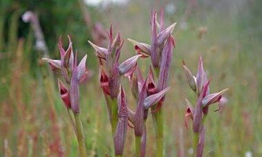 """Orquídea considerada """"extinta"""" é encontrada em telhado de Londres"""