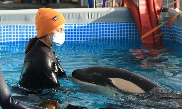 Filhote de orca perdido desperta dilema ético na Nova Zelândia; entenda