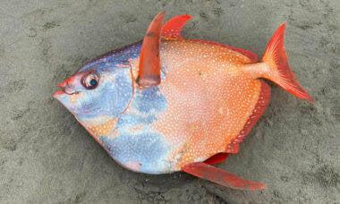 Com 45 kg, peixe raro aparece em praia nos EUA