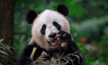 Panda gigante escapa da lista de animais em extinção