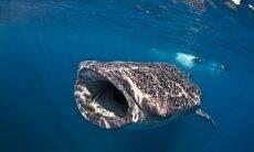 Mergulhador faz a selfie perfeita com um tubarão-baleia
