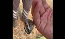 Vídeo: afetada por incêndio, borboleta bebe água das mãos de socorrista
