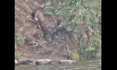 urso gordo