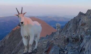 Alpinista tem encontro com cabras-da-montanha em escalada