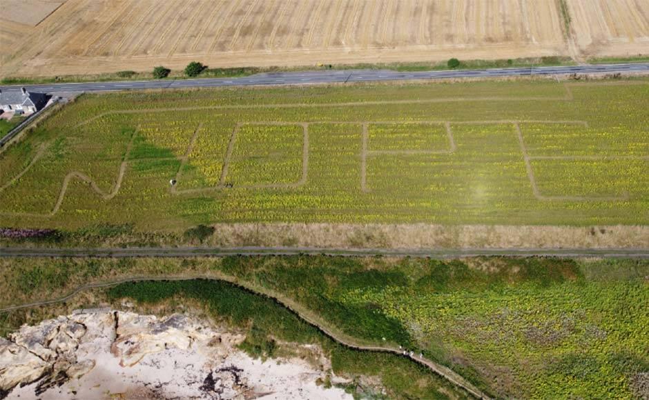 Campo ganha 100.000 girassóis para formar a palavra esperança