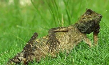 Fotógrafo flagra lagarto em pose relaxada