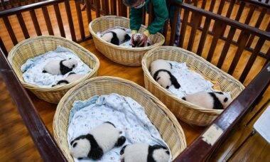 Oito filhotes de panda são reunidos para sessão de fotos