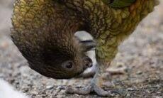 Papagaio sem bico aprende a limpar penas com a língua e pedras