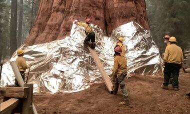 Bombeiros estão usando alumínio para proteger sequoias de incêndios florestais