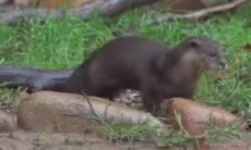 Lontra recupera celular de visitante em parque da China